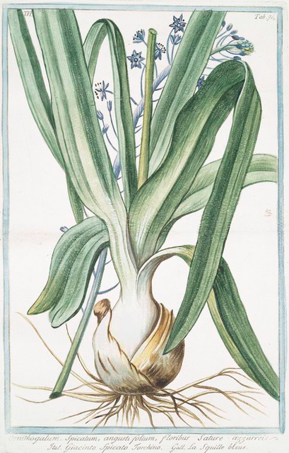 Ornithogalum, spicatum, angustifolium, floribus sature azzurreis = Giacinto spicato torchino = La Sqiulle bleue. [Spiked Star-of-Bethlehem]
