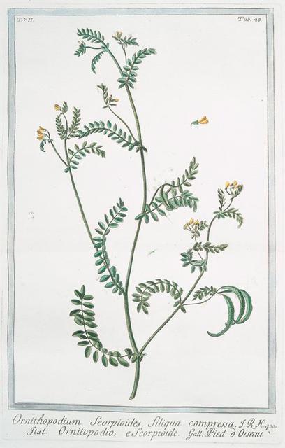 Ornithopodium Scorpioides, siliqua compressa = Ornitopodio, e Scorpioide = Pied d'Oiseau. [yellow crownvetch; annual scorpion vetch]