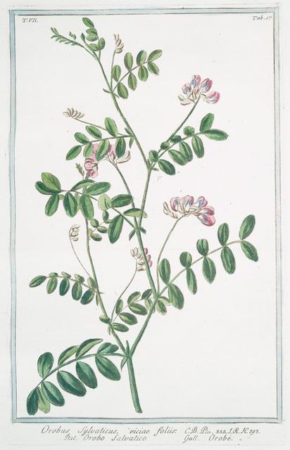 Orobus sylvaticus, viciae foliis = Orobo salvatico = Orobe.