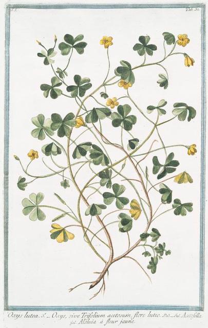 Oxys lutea = Oxys, sive Trifolium acetosum, flore luteo = Acetofella = Aleluia à fleur jaune.