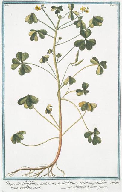 Oxys, sive Trifolium acetosum, corniculatum, erectum, caulibus rubentibus, floribus luteis = Alleluia à fleur jaune.