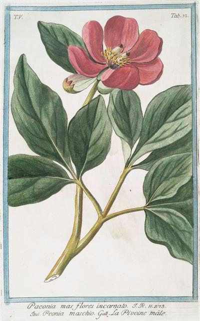 Paeonia mas flores incarnato = Peonia maschio = La Pivoine m^ale.