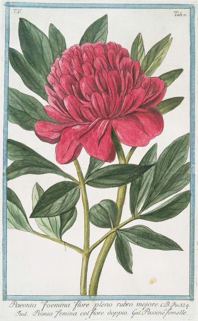 Paoenia foemina flore pleno rubro mojore = Peonia femina col. Fiore dopio = Pivoine femelle. [Peony]
