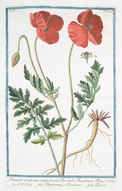 Papaver erraticum, majus, p'or'as Dioscordi, Theophrasto, Plinio = Papaverone, e Rosolaccio = Pavot. [Opium poppy]