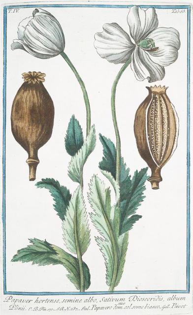 Papaver hortense, semine albo, Sativum Discoridis, album Plinii = Papavero domestico. Col. Seme bianco = Pavot. [Poppy]