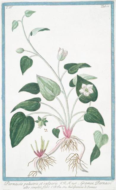 Parnassia palustris, et vulgaris = Gramen Parnassi albo simplici flore = Gramicia di Parnaso. [Northern grass of Parnassus]