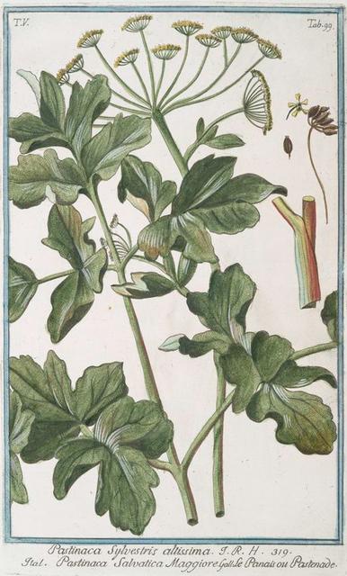 Pastinaca sylvestris altissima = Pastinaca salvatica maggiore = Panais ou Pastenade. [Wild parsnip]