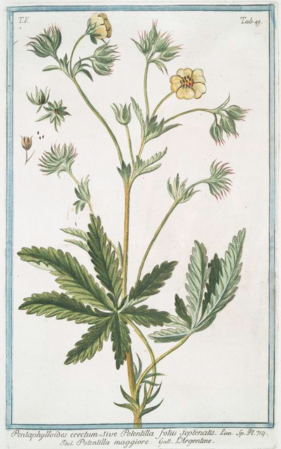 Pentaphylloides erectum, sive Potentilla foliis septenatis = Potentilla maggiore = L'Argentine. [Cinquefoil]