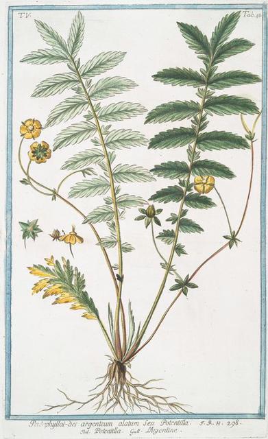 Pentophylloi-des argenteum alatum Seu Potentilla = Potemto;;a = L'Argentine. [Silver cinquefoil]