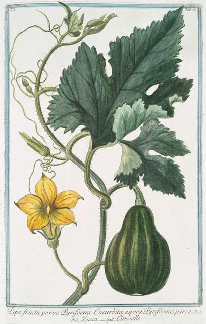 Pepo fructu parvo, Pyriformi. Cucurbita aspera Pyriformis, parva = Zucca = Citrouille. [Pumpkin]