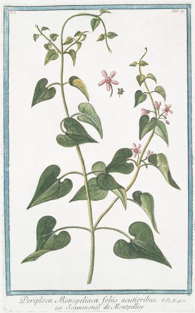 Periploca Monspeliaca foliis acutioribus = Scammonée de Montepellier.