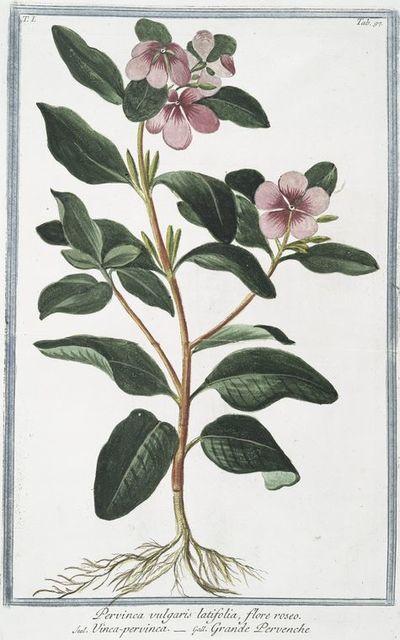 Pervinca vulgaris latifolia, flore roseo = Vinca-pervinca = Grande Pervenche. [Greater Periwinkle]