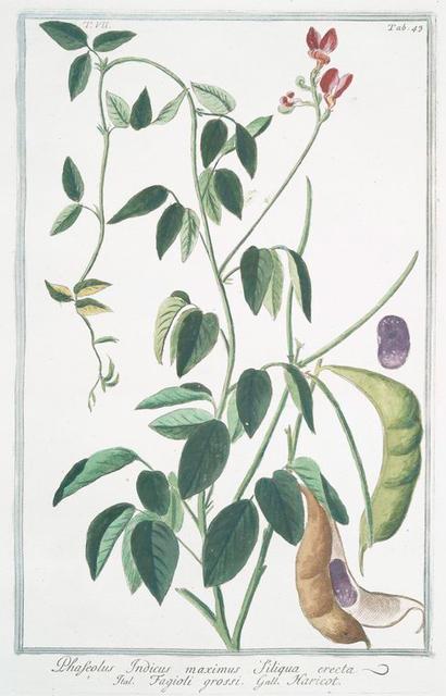 Phaseolus Indicus, maximus siliqua erecta = Fagioli grossi = Haricot. [Indian kidney bean]
