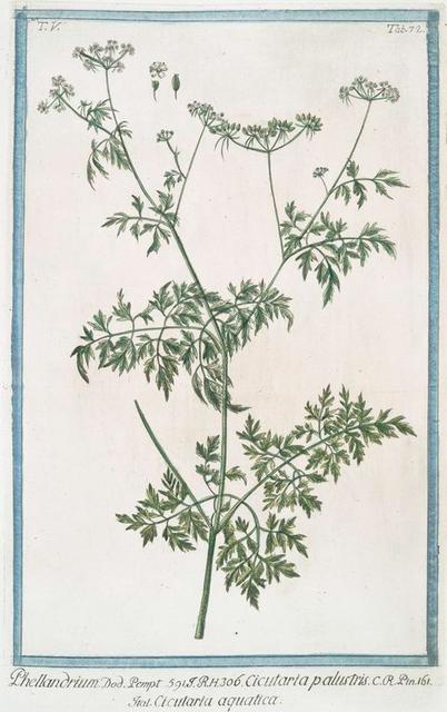 Phellandrium = Cicutaria palustris = Cicutaria aquatica. [Water dropwort, Fine-leaved Water-hemlock]
