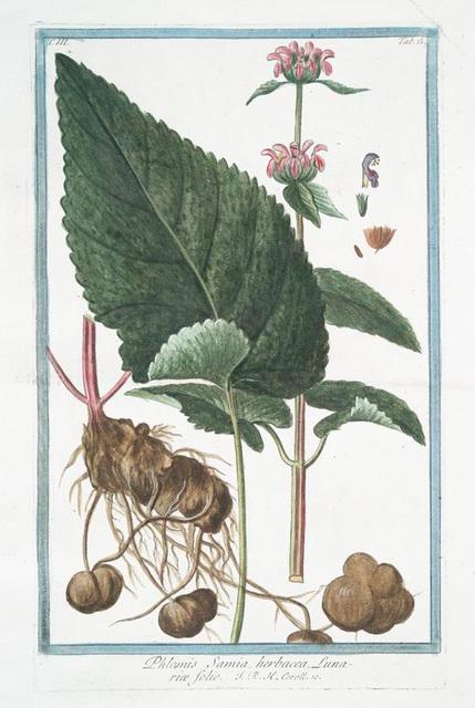 Phlomis Samia, herbacea, Lunariæ folio. [Sage]