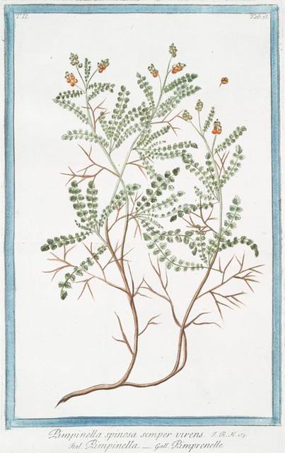 Pimpinella spinosa semper virens = Pimpinella = Pimprenelle.