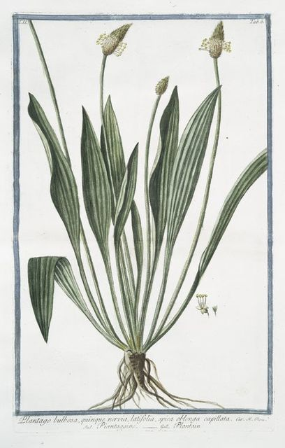 Plantago bulbosa, quimque nervia, latifolia, spica oblonga capillata = Piantaggine = Plantain.