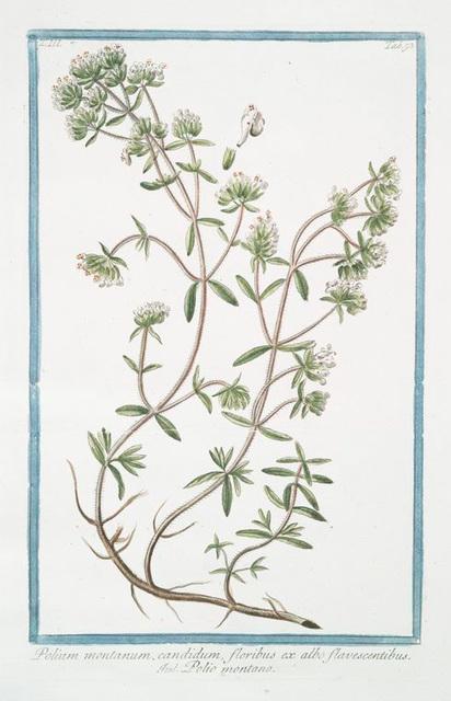 Polium montanum, candidum, floribus ex albo flavescentibus = Polio montano. [Poly-mountain, Mountain Germander]