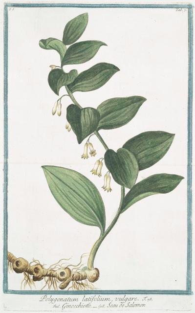 Polygonatum latifolium, vulgare = Gompccjoettp = Seau de Salomon. [Solomon's Seal]