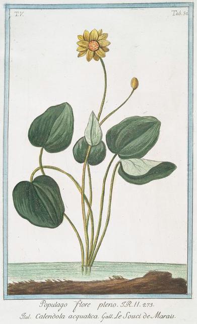 Populago flore pleno = Calendola acquatica = Le Souci de Marais. [Marsh Marigold]