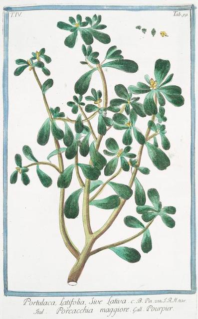 Portulaca, latifolia, sive lativa = Porcacchia maggiore = Pourpier. [Purslane, Moss Rose]