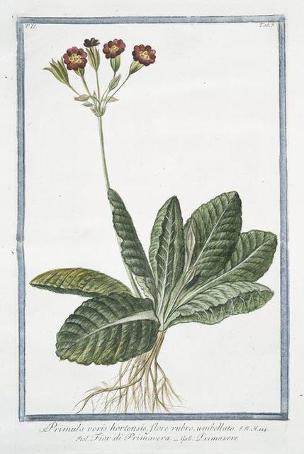 Primula varis hortensis, flore rubro, umbellato = Fior di Primavera = Primavere.