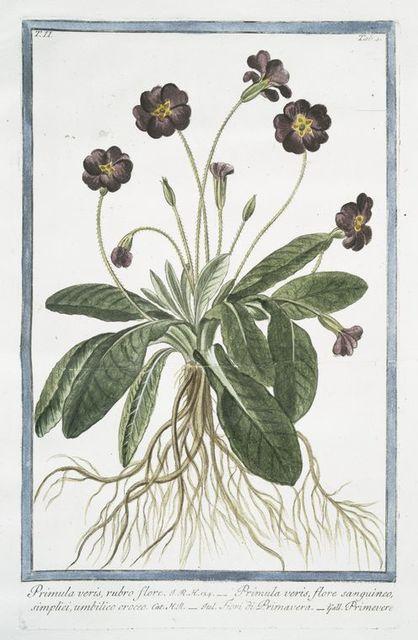 Primula varis, rubro fiore = Primula veris, flore sanguineo, simplici, umbilico croceo = Fiori di Primavera = Primevere.