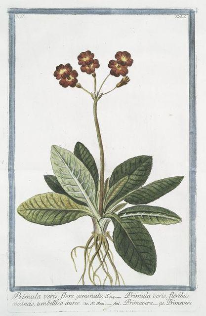 Primula veris, flore geminato = Primula veris, floribus coccineis, umbellico aureo = Primavera = Primevere.