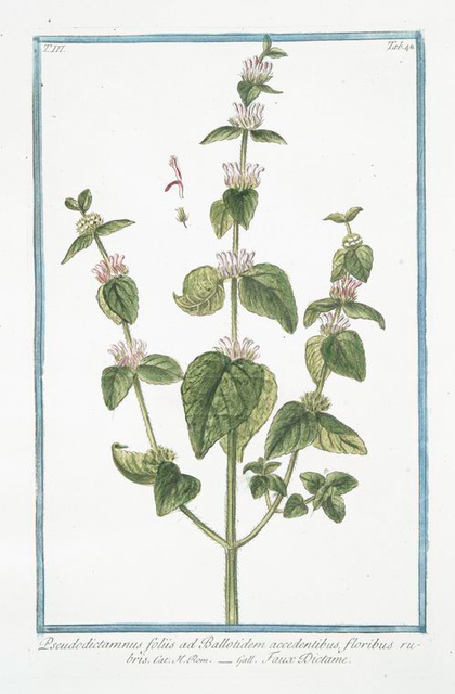 Pseudodictamnus foliis ad Ballotidem accedentibus, floribus rubris = Faux Dictame. [False Dittany, Ballota, 'Nana']