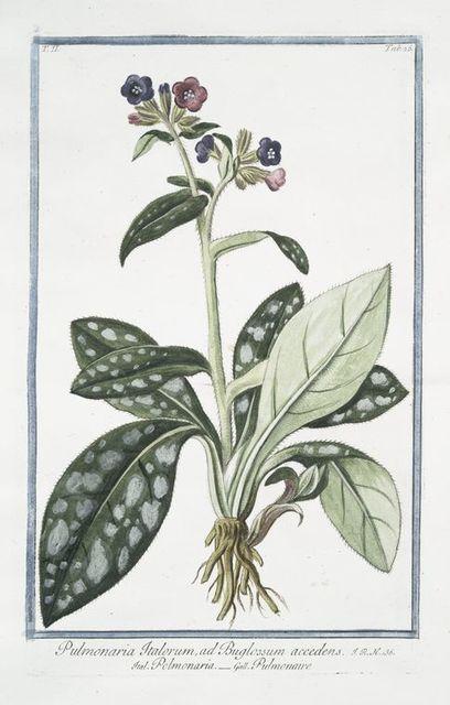 Pulmonaria Italorum, ad Buglossum accedens = Polmonaria = Pulmonaire. [Lungwort]