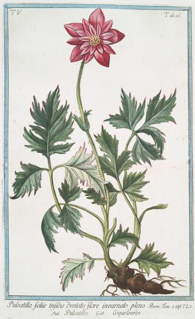 Pulsatilla foliis trifidis denlatis flore incarnato pleno = Pulsatilla = Coquelourde. [Pasque Flower. Wind Flower. Meadow Anemone. Passe Flower. Easter Flower]