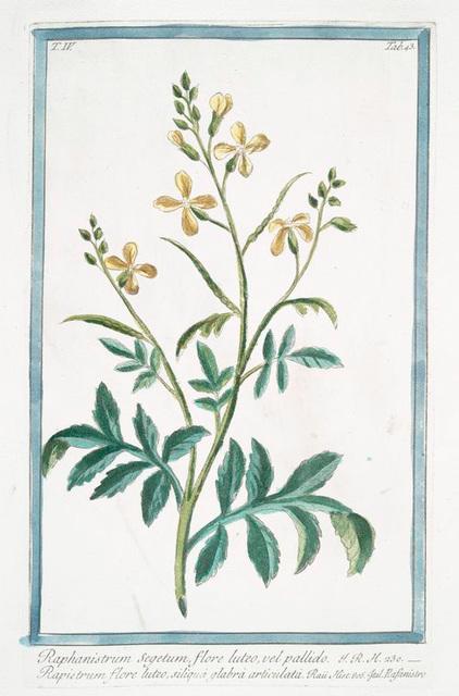 Raphanistrum Segetum, flore luteo, vel pallido = Rapistrum flore luteo, siliquà glabrà articulatà = Rafanistro. [Radish family]