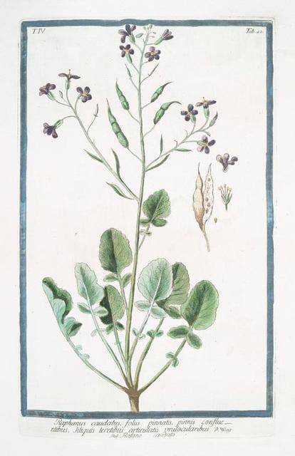 Raphanus caudatus, foliis pinnatis, pinnis confluentibus, tiliquis teretibus articulatis unilocularibus = Rafano caudato. [Rat-tail radish]