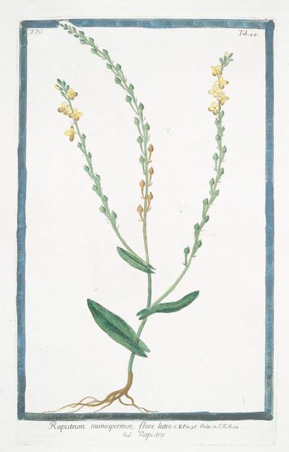 Rapistrum monospermon, flore luteo = Rapistro.
