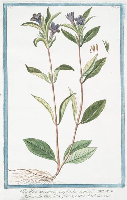 Ruellia strepens, capitulis comosis = Adhatoda Carolina, pilosa, calyce barbato. [Wild petunia]