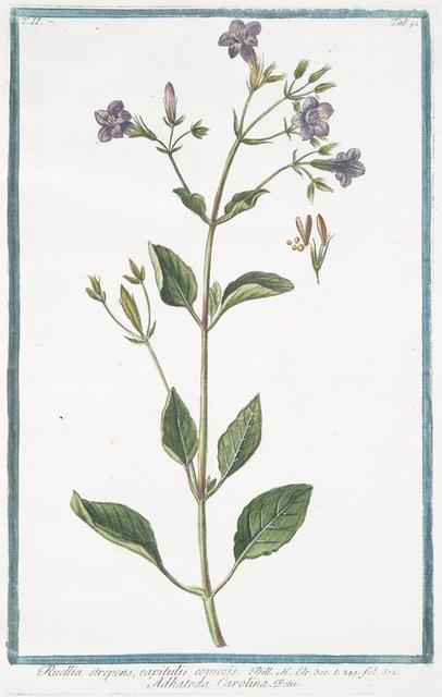 Ruellia strepens, capitulis comosis = Adhatoda Carolina. [Wild petunia]
