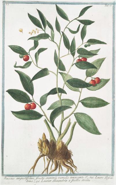 Ruscus angustifolius, fructu summis ramulis innascente. = Lauro Alessandrino = Laurier Alexandrin a feuilles étroites.