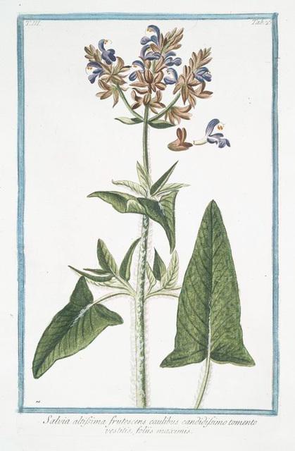 Salvia altissima frutescens caulibus candidissimo tomento vestitis, foliis maximis. [Tallest Sage]
