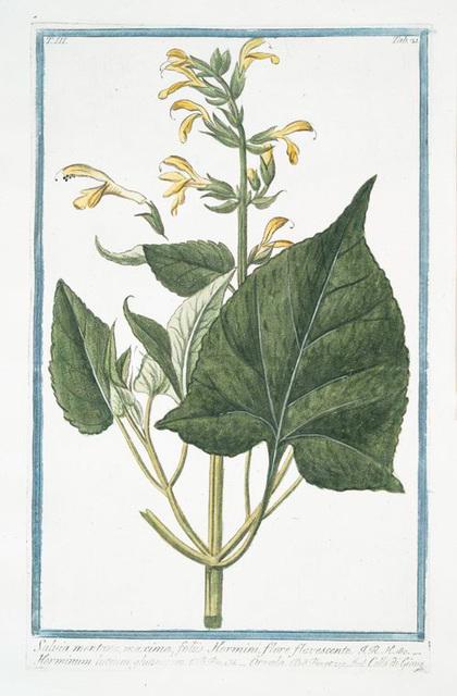 Salvia Montana, maxima, foliis, Hormini, flore flavescente = Horminum luteum, flutinosum = Orvala = Collo di Giove. [Sage from Montana]