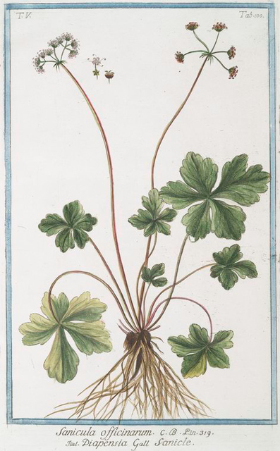 Sanicula officinarum = Diapensia = Sanicle. [Snake root]