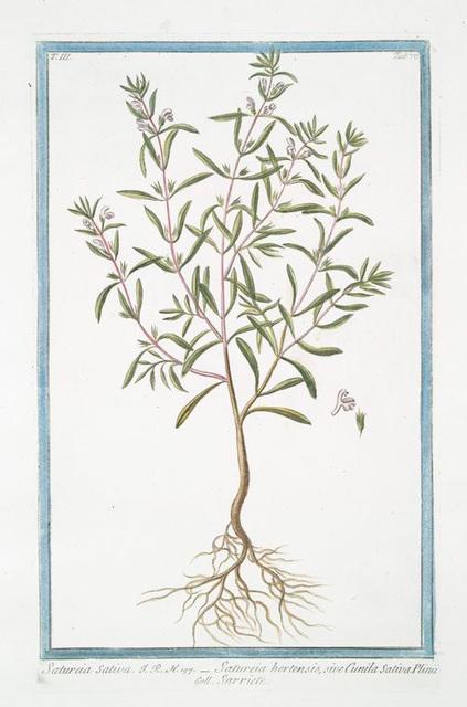 Satureia Sativa = Satureia hortensis, sive Cunila Sativa Plinii = Sarriete. [Summer Savory]