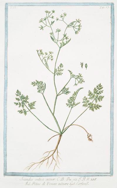Scandix, crelica minor = Petine di Venere minore = Cerfeuil. [Chervil]