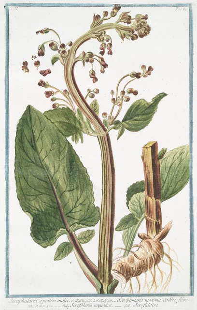 Scrophularia aquatica major = Scrophularia maxima radice fibrosa = Scrofolaria acquatica = Scrofulaire.
