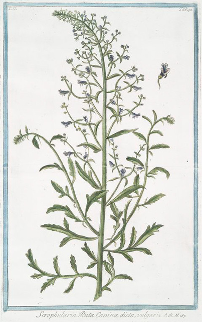 Scrophularia Ruta Canina dicta, vulgaris. [Figwort]
