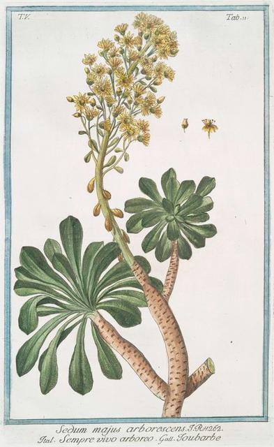Sedum majus arborescens = Sempre vivo arboreo = Toubarbe. [Garden stone crop]