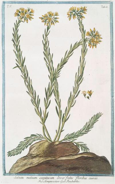 Sedum medium cespitosum, Ericæ foliis floribus cuires = Semprevivo = Toubarbe.