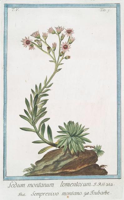 Sedum montanum tomentosum = Semprevivo montano = Toubarbe. [Mountain house-leek]