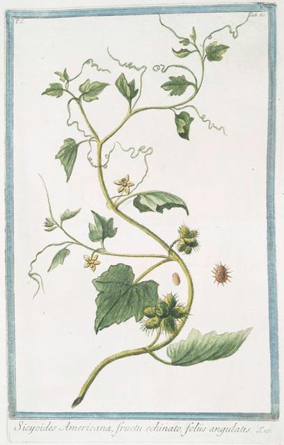 Sicyoides Americana, fructu echinato, foliis angulatis.