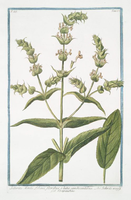 Sideritis: Montis Libani, floribus e luteo candicantibus = Siderite maff. = Crapaudine. [Mountain tea]