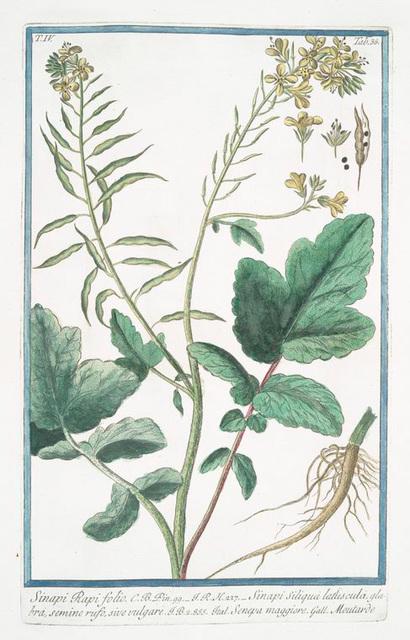 Sinapi Rapi folio = Sinapi Siliqua latuscula, glabra, semine rufo, sive vulgare = Senepa maggiore = Moutarde. [Mustard]